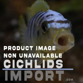 Tropheus chaitika 9-11 cm